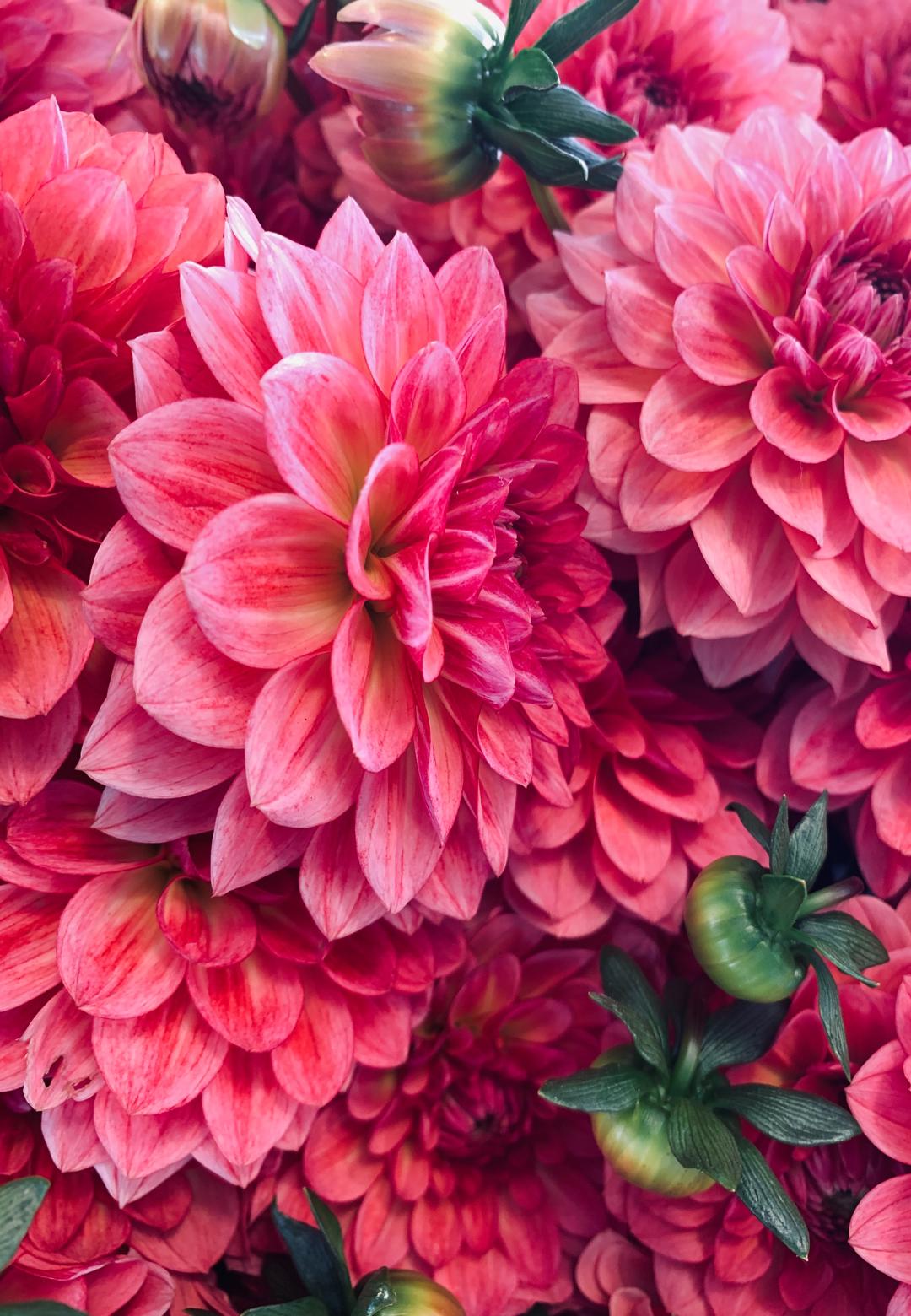 růžové jiřiny
