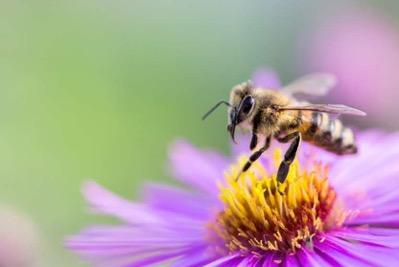 včela na růžovém květu